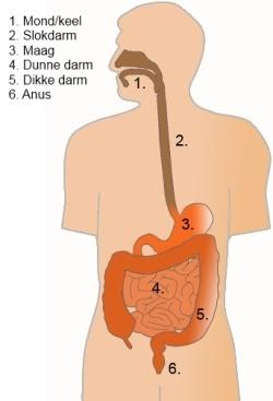 Maag-darmkanaal: mond en keel, slokdarm, maag, dunne- en dikke darm, anus