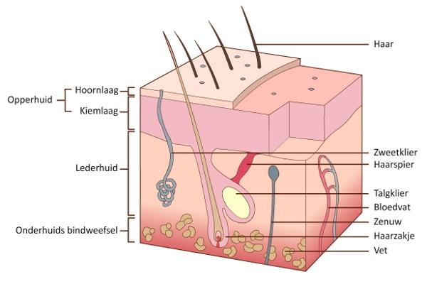 functie van de huid