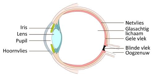spots-vergelijken-oog-anatomie