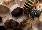 Als je door een wesp geprikt wordt kun je ook een allergische reactie krijgen